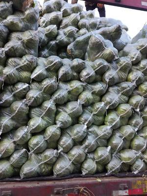 河北省邯郸市丛台区中甘21甘蓝 2.0~2.5斤