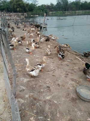 广西壮族自治区北海市合浦县淘汰鸭 6-7斤 统货 半圈养半散养