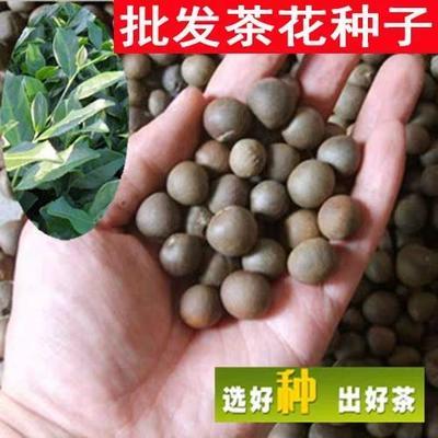 江苏省宿迁市沭阳县 红花油茶树