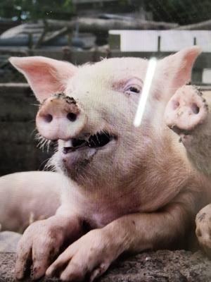 山东省潍坊市青州市长白猪 200-300斤