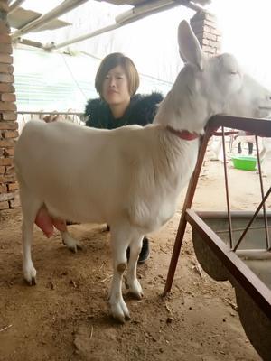 山东省济宁市嘉祥县奶山羊 80-110斤