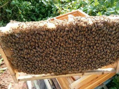 福建省泉州市南安市中华蜜蜂