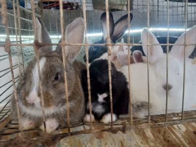 贵州省毕节市纳雍县肉兔 3-5斤