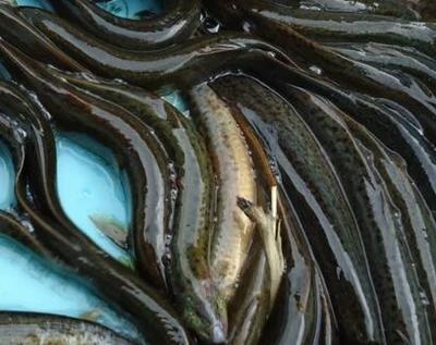 重庆黔江区台湾泥鳅 人工养殖 8-10cm 45尾/公斤