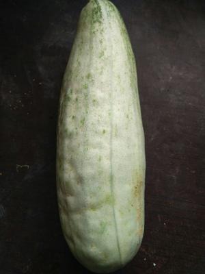山东省德州市陵城区羊角脆甜瓜 0.5斤以上