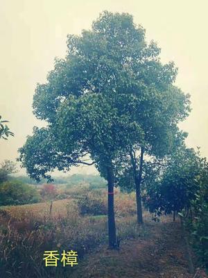安徽省合肥市蜀山区全冠香樟