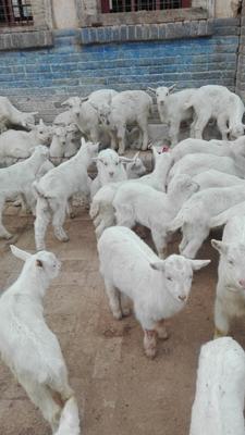 陕西省渭南市临渭区奶山羊 30斤以下