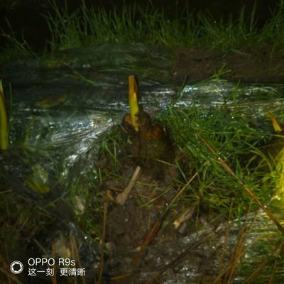 广西壮族自治区桂林市七星区槟榔芋 6cm以上