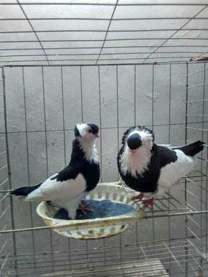 山东省菏泽市巨野县仙女鸽 500-600克 美丽大方观赏鸽