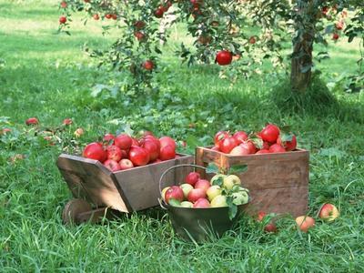 山西省晋中市榆次区红富士苹果 75mm以上 表光 纸袋