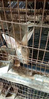 江西省宜春市丰城市肉兔 3-5斤