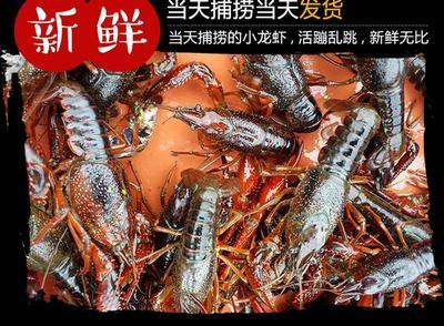 江苏省泰州市兴化市兴化小龙虾 7-9钱 人工殖养
