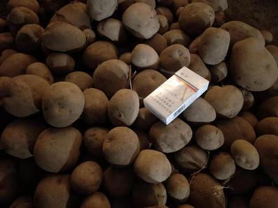 甘肃省张掖市山丹县大西洋土豆 2两以上