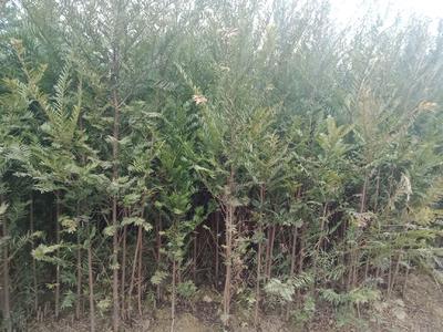 重庆秀山土家族苗族自治县南方红豆杉 1~1.5米
