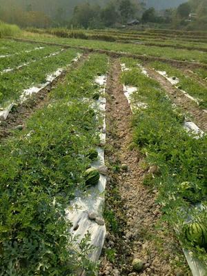 云南省西双版纳傣族自治州勐腊县甜王西瓜 有籽 1茬 8成熟 5斤打底