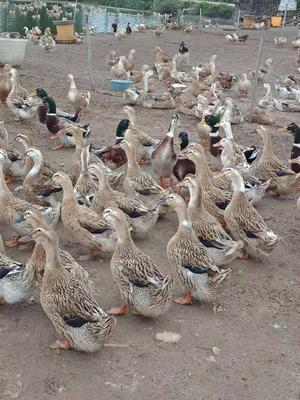 广西壮族自治区北海市海城区淘汰鸭 5-6斤 统货 半圈养半散养