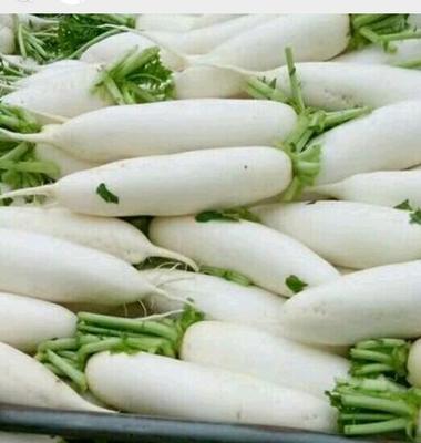 四川省遂宁市船山区白萝卜 1.5~2斤