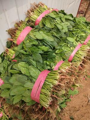 河北省邯郸市永年县高杆菠菜 40cm以上