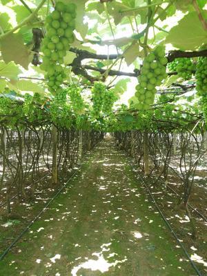 云南省红河哈尼族彝族自治州弥勒市水晶葡萄 0.4-0.6斤 5%以下 1次果