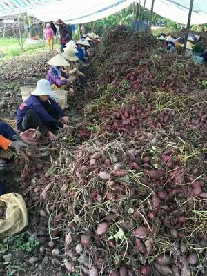 广西壮族自治区百色市靖西县越南紫薯 3两以下