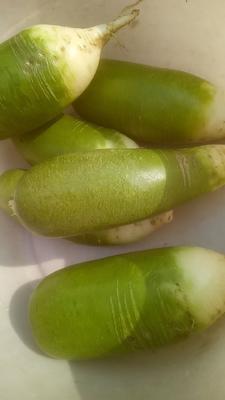 河南省驻马店市汝南县水果萝卜 1.5~2斤