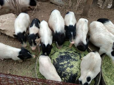 广西壮族自治区钦州市灵山县巴马香猪 20-40斤