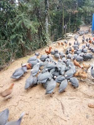 湖南省株洲市攸县灰色珍珠鸡 2-4斤