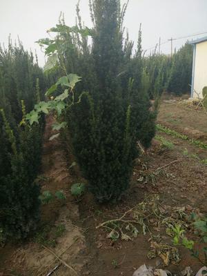 山东省莱芜市莱城区曼地亚红豆杉 2.5~3米