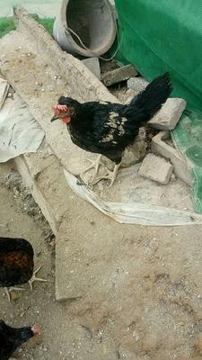 贵州省遵义市红花岗区土鸡 2-3斤 统货