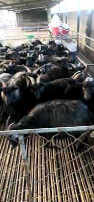 四川省成都市双流县黑羊 30-50斤
