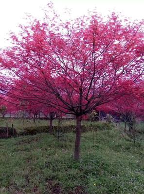 广西壮族自治区桂林市兴安县中国红枫