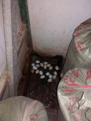 湖南省永州市东安县土鸡蛋 食用 散装