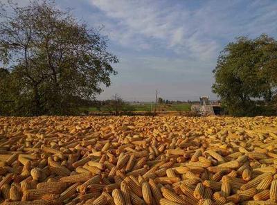 山东省威海市荣成市玉米干粮 净货 水份14%-16%