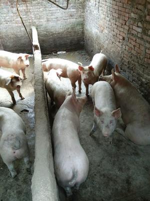 陕西省安康市旬阳县长白猪 160斤以上