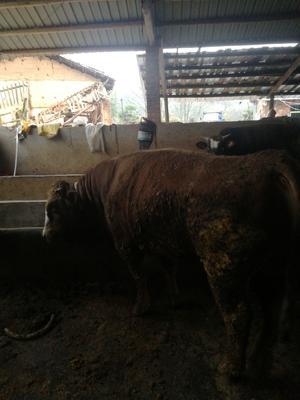 江西省抚州市宜黄县杂交牛 800-1000斤 公牛