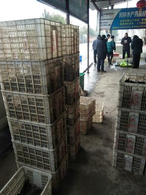 湖北省湖北省仙桃市中国小龙虾 6-8钱 稻田虾