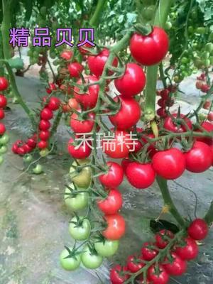 山东省潍坊市寿光市樱桃番茄种子 ≥96% 杂交种 ≥90%