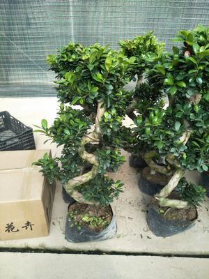 云南省昆明市官渡区人参榕树盆景