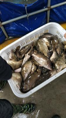 江苏省泰州市泰兴市翘嘴鳜 人工养殖 0.8斤以下