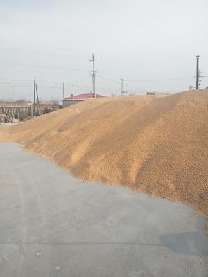吉林省白城市通榆县玉米湿粮 杂质很少 水份14%-16%