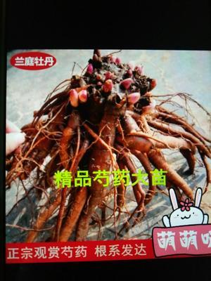 山东省临沂市平邑县多花芍药 0.5米以下 2cm以下