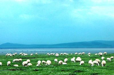 内蒙古自治区包头市青山区土羊 30-50斤