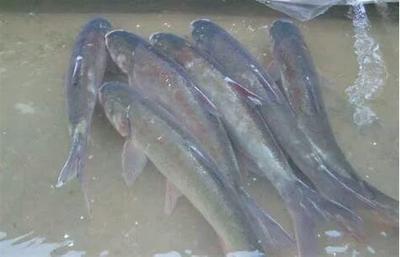 广西壮族自治区百色市西林县白鲢鱼 人工养殖 1-2.5公斤