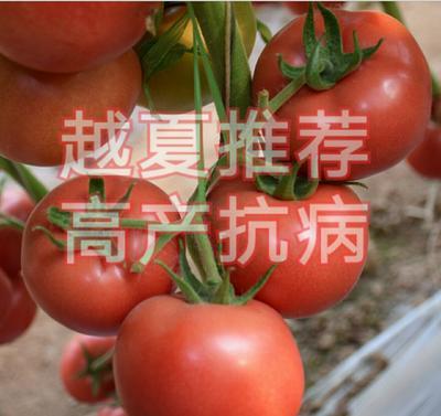 山东省潍坊市寿光市硬粉番茄种子 ≥96% 杂交种 ≥90%