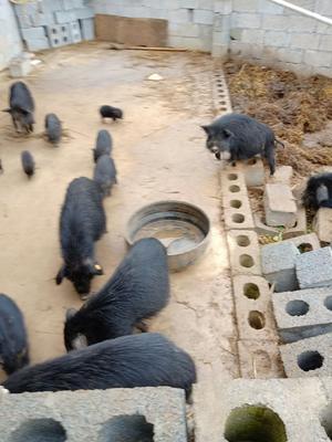 湖南省永州市江永县藏香猪 20斤以下