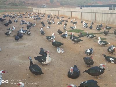 云南省保山市隆阳区番鸭 10斤以上 公 半圈养半散养