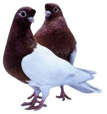 安徽省蚌埠市怀远县两头乌鸽 400-500克