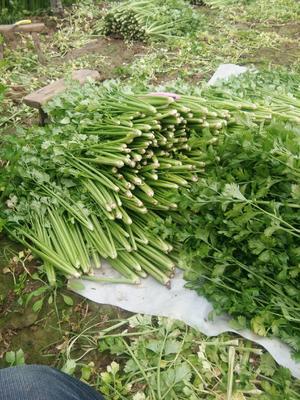 安徽省阜阳市临泉县美国文图拉芹菜 50~55cm 0.5斤以下 大棚种植
