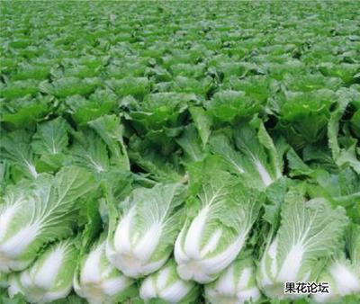 山东省临沂市兰陵县胶州大白菜 6~10斤 毛菜