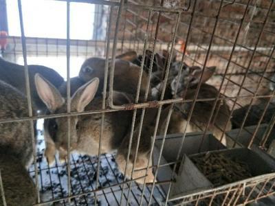 山西省长治市襄垣县比利时野兔 3-5斤